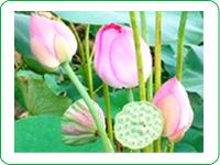 蓮の花・実
